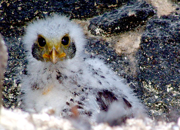 Baby Eagle