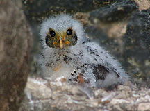 Baby Eagle in Mayan Ruin of Becan