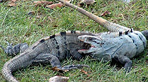 Fighting Iguana