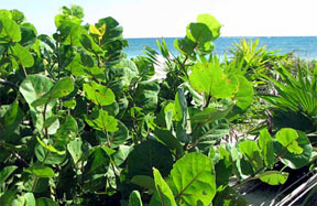 Sea Grapes (coccoloba uvifera)